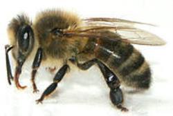 Last van bijen? Accuraat helpt u bij het bestrijden van bijen.