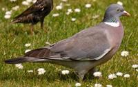 Last van vogels, zoals duiven? Neem contact op met Accuraat Plaagdierenbestrijding.