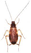 Last van kakkerlakken? Neem contact op met Accuraat Plaagdierenbestrijding.