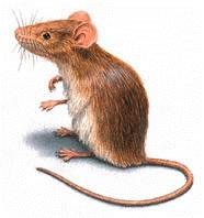 Last van muizen? Accuraat helpt u bij het bestrijden van muizen.