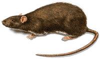 Last van ratten? Accuraat bestrijdt ratten.