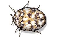Last van tapijtkevers? Neem contact op met Accuraat Plaagdierenbestrijding.