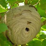 Last van een wespennest? Accuraat helpt u bij het bestrijden van wespen.